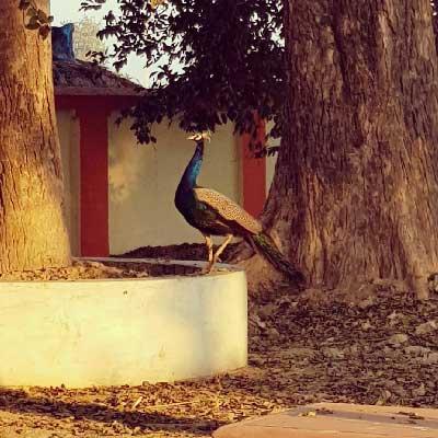 Peacock-at-Bhandirvan