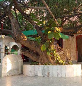 The tree at Tree Kadamba under which Rupa Goswami did bhajan