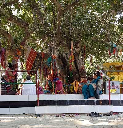 The tree at Vamsivat