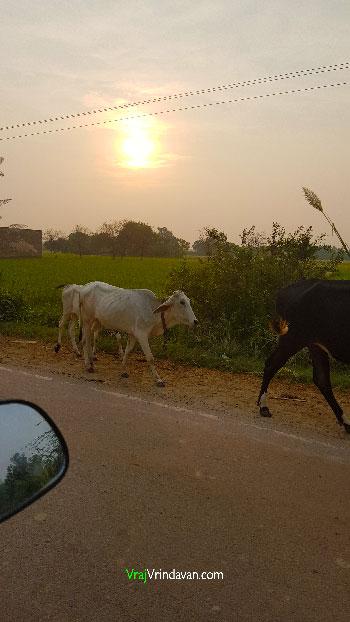 Vrindavan-Cow-On-Road
